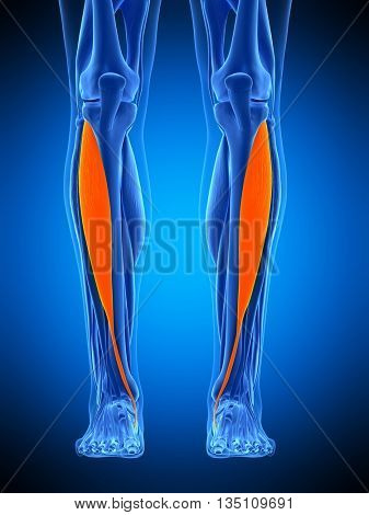 3d rendered, medically accurate illustration of the tibialis anterior