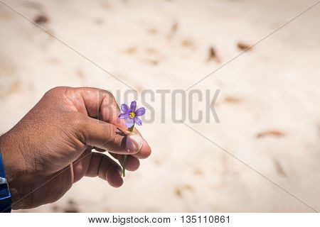 The bermudiana the National flower of Bermuda in the hand of a local tour guide.