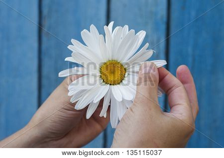 Large white daisy for divination in human hand on blue background