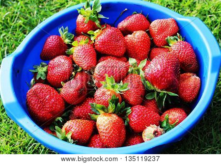delicious, ripe strawberries grown in the home garden