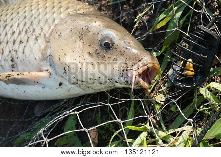wild carp lying in landing net with hook in mouth