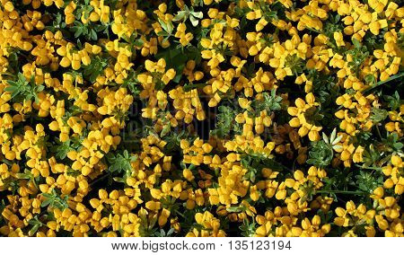 Background of Little Yellow Flowers with Green Leafs closeup Outdoors