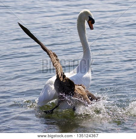 Amazing image with the Canada goose attacking the swan on the lake