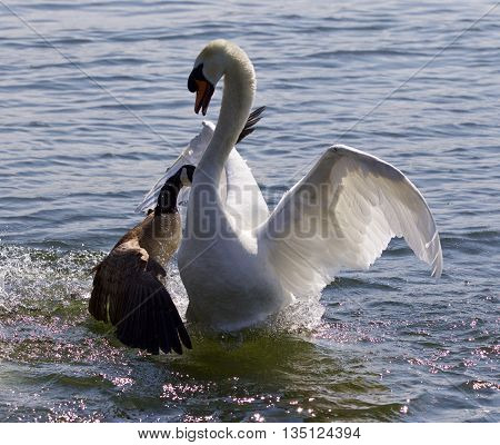 Amazing image with the Canada goose attacking the mute swan on the lake