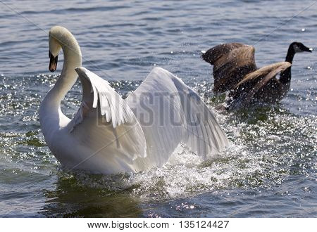 Amazing photo of the fantastic contest between the powerful swan and the brave Canada goose