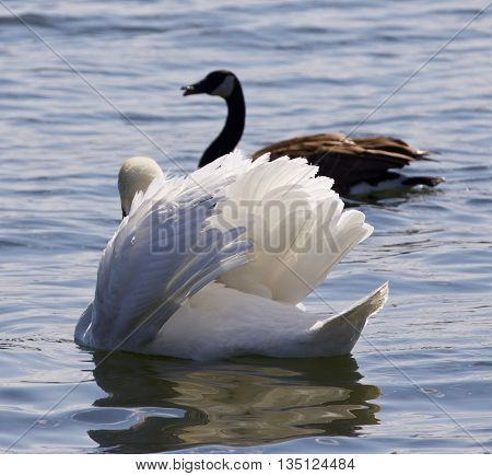 Beautiful isolated picture with the contest between the swan and the Canada goose