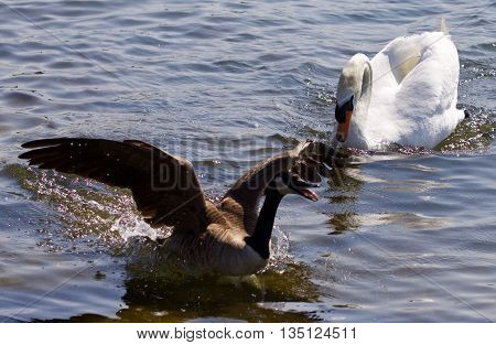 Beautiful background with the Canada goose running away from the angry mute swan