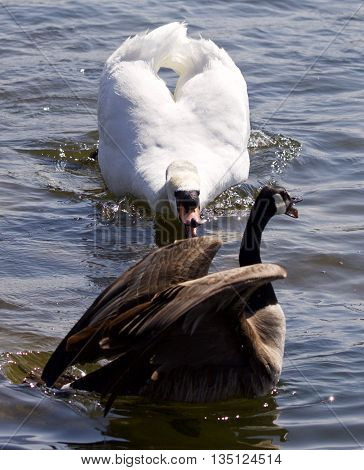 Beautiful isolated photo of the Canada goose under attack of the angry mute swan in the lake