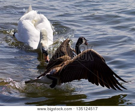 Amazing emotional moment with the swan attacking the Canada goose