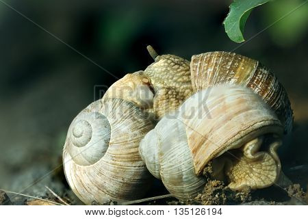 garden snails sliding with shells on natural background closeup. Teamwork concept
