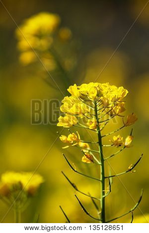 Close up view at Field mustard (Brassica rapa) in the field