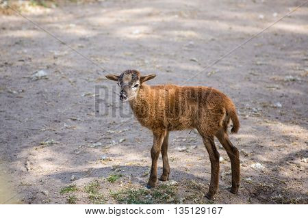 Brown goat standing on the ground eating