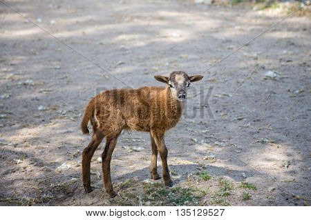 Brown goat standing on the ground watching
