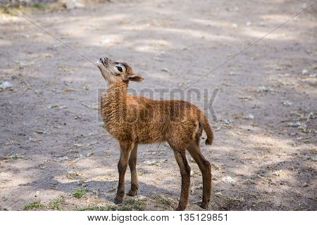 baby kid goat grouse and bleat standing on the ground watching