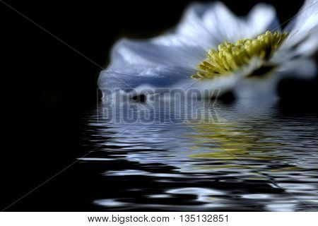 Floral natural background with beautiful wild flower with white petals and yellow mid closeup on the black background with reflection in water