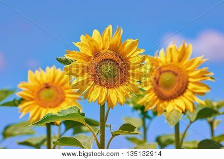 Blooming Yellow Sunflowers aganst the Blue Sky