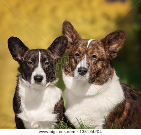 Two cute welsh corgi cardigan posing in park