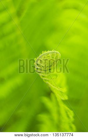 Beautiful new fern uncurling against sof out of focus green background