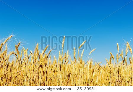 golden harvest in field and clear deep blue sky