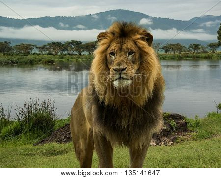 African lion male at blue lake in Serengeti of Africa