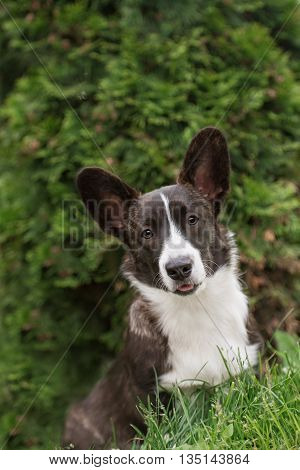 Adult welsh corgi cardigan posing on green graas
