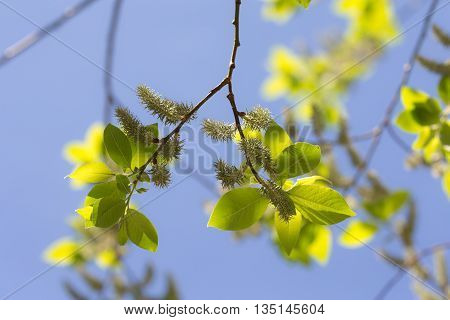 Spring willow leaves against the blue sky