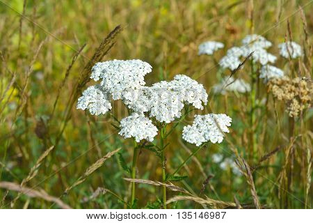 Achillea millefolium, commonly known as yarrow in summer