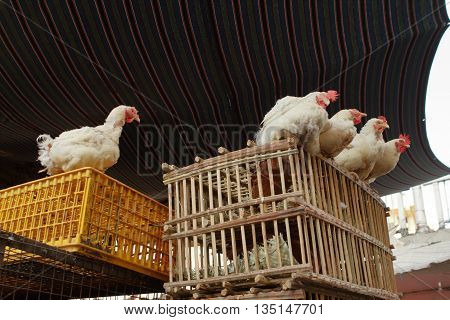 Chickens and laying hens on a cage