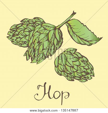 Hops herb plant which is used in the brewery of beer. For labels and packaging. Vector engraved illustration. Hops Object.