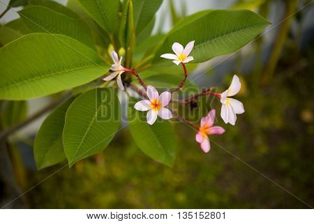 Frangipani pink flowers in bushes