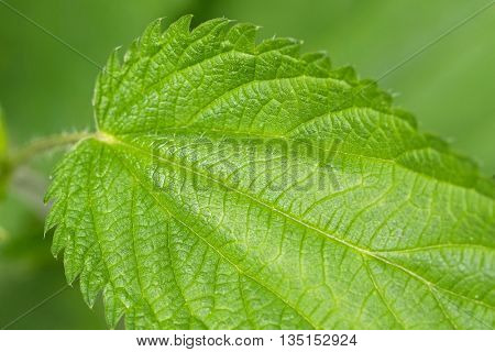 Closeup of Common nettle plants with defensive stinging hairs on green leaves and stems during summer in Austria, Europe