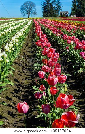 Looking down a row of colorful tulips in Woodburn Oregon
