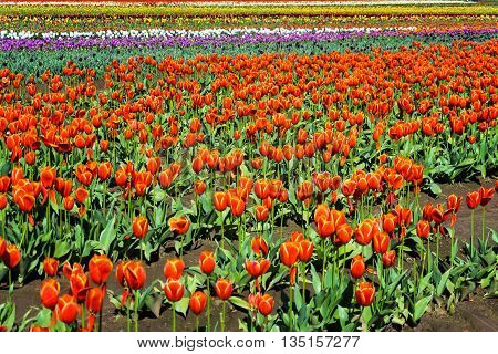 Field and vibrant colorful tulips in Woodburn Oregon