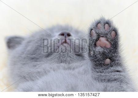 Kitten Paw Close
