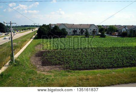 Corn grows in a cornfield in Naperville, Illinois during July.