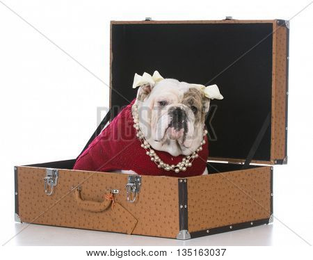 female english bulldog sitting in a leather trunk on white background