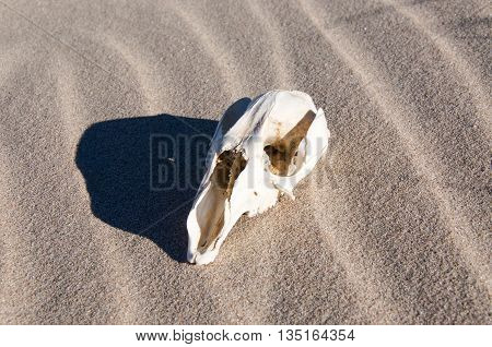 White kangaroo skull isolated on a windblown sand background with shadow in Western Australia.