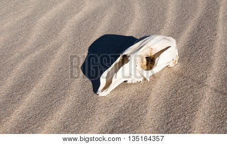 Side view of white kangaroo skull on a windblown sand background in Western Australia.