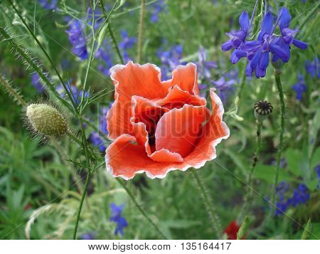 Red poppy flower with a white border.