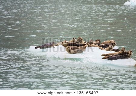 Sea lions overlie on stone