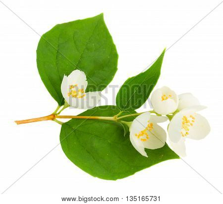 Jasmine flowers and leaves twig isolated on white background