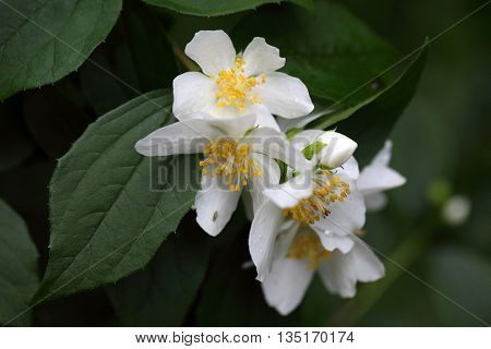Flower of an English dogwood (Philadelphus coronaries) bush.