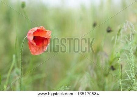 Red poppy flower on blurred background green grass