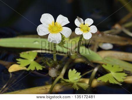 Common Water Crowfoot - Ranunculus aquatilis Aquatic buttercup