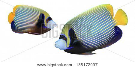 Tropical reef fish: Emperor Angelfish cutout isolated white background