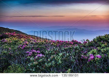 Rhododendron Stretch Out into Sunrise with layers of blue ridge mountains behind