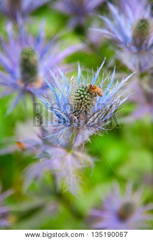 Eryngium alpinum 'Blue Star' also known as Blue Sea Holly
