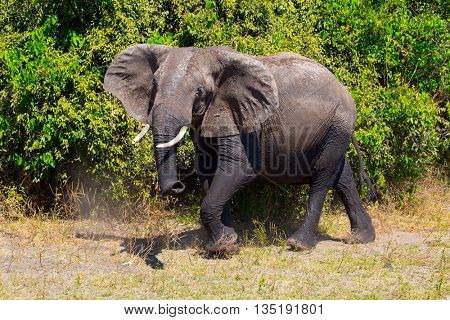 Botswana, Chobe National Park on the Zambezi River. Lone elephant at the watering hole