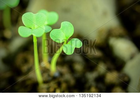 Sprout or Seedlings of some vegetables in Closed-up.