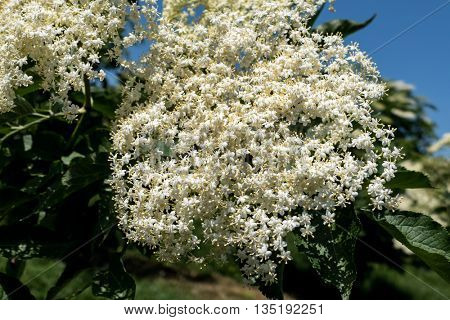 blooming flowers of elderberry on a hollunderstrauch
